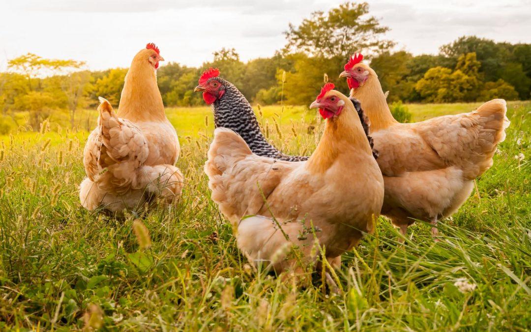 10 choses à savoir avant d'élever des poules chez soi