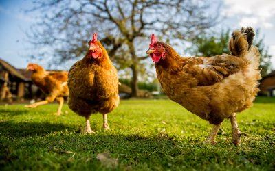 Que mangent les poules et comment les nourrir ?