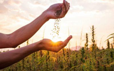 CBD : avantages et inconvénients des différents types de graines de cannabis